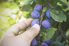 Male hands picking fresh plums from the tree Stock Photography
