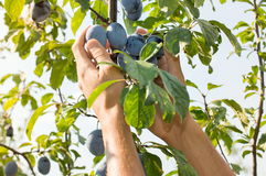 Male hands picking plums from the tree Royalty Free Stock Photo