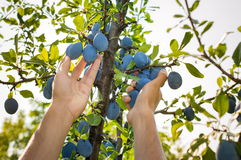 Male hands picking plums from the tree Stock Photo