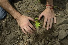 Male hands planting a small sprout Royalty Free Stock Photography