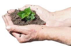 Male hands with soil and green sprout Stock Images