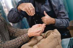 Male hands take armful of barley from bag. Quality control of barley for beer production. stock image