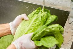 Male hands with white gloves rinsing lettuce beneath tap water. Close up chef hands washing lettuce, water flowing on a lettuce and splashing Stock Images