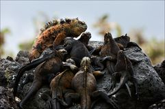 The male with a harem. On dark stones of a lava has settled down to bask in the sun group of sea iguanas Stock Image