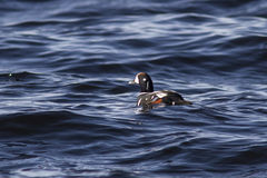 Male harlequin duck floating in the ocean sunny day Stock Image
