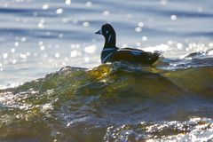 Male harlequin duck rides a breaking wave along the shore, backlit by the sun stock photos
