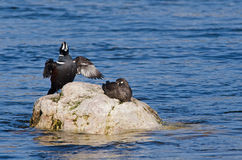 Male harlequin duck stretching Stock Photos