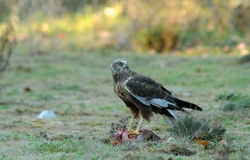 male harrier eagle lands on the ground Royalty Free Stock Photography