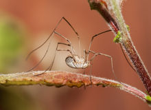 Male harvestman spider. In UK Stock Images