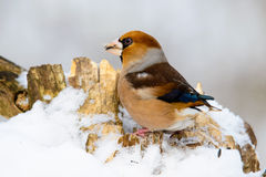 Male Hawfinch Coccothraustes on a branch in winter Royalty Free Stock Photography