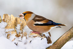 Male Hawfinch Coccothraustes on a branch in winter Royalty Free Stock Photo