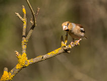 Male Hawfinch Stock Photography