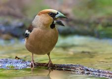 Male hawfinch shouts loudly on small stick on water surface stock photography