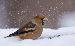Male hawfinch feeds in snow and searches fo some nutrition stock photography