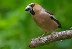 Male hawfinch posing on a stick with green background stock photos