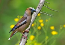 Male Hawfinch perched on branch with flowers at background stock images