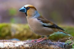 Male Hawfinch sits near a wet stick near puddle royalty free stock photography