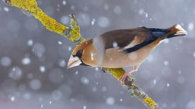 Male hawfinch sitting on a lichen covered stick in snow storm royalty free stock photography
