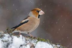 Male hawfinch sitting on a snowy stick in winter snowstorm stock photo