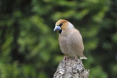 Male Hawfinch on a tree. In a garden in spring Royalty Free Stock Images