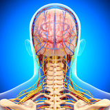 Male head back view circulatory system. 3d art illustration of male head back view circulatory system in blue Stock Photography