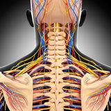 Male head back view circulatory system. 3d art illustration of male head back view circulatory system in gray Stock Photo