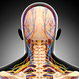 Male head back view circulatory system. 3d art illustration of male head back view circulatory system in gray Royalty Free Stock Photo