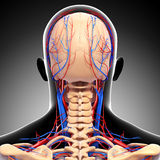 Male head back view circulatory system. 3d art illustration of male head back view circulatory system in gray Royalty Free Stock Photos