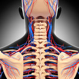 Male head back view circulatory system in gray. 3d art illustration of male head back view circulatory system in gray Stock Images