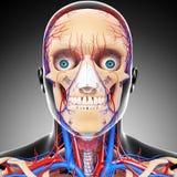 Male head cirkulations- system för främre sikt i gray royaltyfri illustrationer
