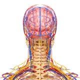 Male head nervöst och cirkulations- system i gray vektor illustrationer