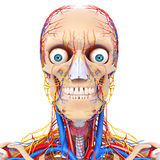 Male head nervous and circulatory system front vie Stock Photography