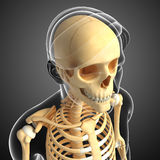 Male head skeleton artwork Stock Photos