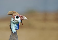 Male helmeted guinea fowl Royalty Free Stock Photography