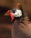 Male Helmeted Guinea Fowl Stock Photo