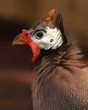Male Helmeted Guinea Fowl. A portrait of a male Helmeted Guinea Fowl in breeding plumage during courtship season stock photo