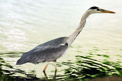 Male heron Royalty Free Stock Images