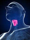 Male highlighted larynx Stock Photos
