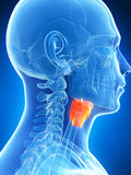 Male highlighted larynx. 3d rendered illustration of the male larynx Stock Photo