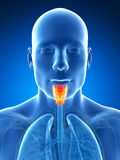 Male highlighted larynx. 3d rendered illustration of the male larynx Royalty Free Stock Photography