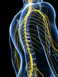 Male highlighted nerve system Stock Image