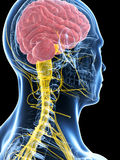 Male highlighted nerve system Royalty Free Stock Image