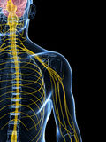 Male highlighted nerve system Stock Photo