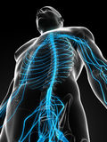 Male highlighted nerve system Stock Photography
