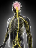 Male highlighted nerve system Royalty Free Stock Photos