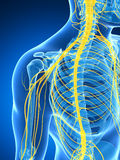 Male highlighted nerve system Royalty Free Stock Images