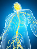 Male highlighted nerve system Stock Images