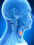 Male highlighted thyroid gland Royalty Free Stock Image