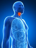Male highlighted thyroid gland Stock Photography