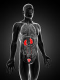 Male highlighted urinary system Stock Photography